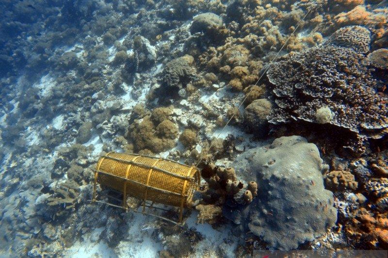 Maraknya penangkapan anemon laut, Terumbu karang di Perairan Pulau Pura Alor terancam rusak total