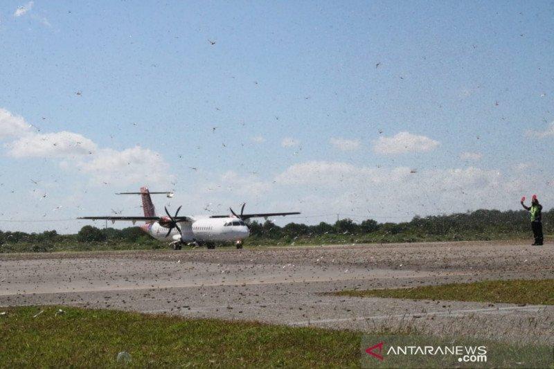Belalang kembara penuhi landasan bandara di Sumba Timur