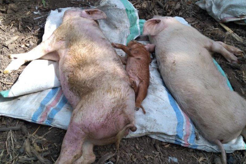 460 ekor babi di Sikka mati terserang penyakit demam babi Afrika