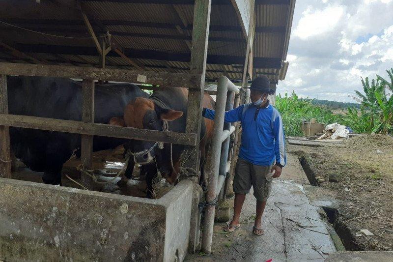 """Gundul""  nama sapi kurban dari Presiden untuk Kepri"