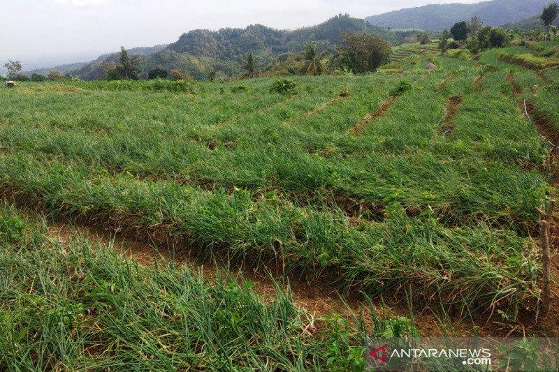 Bantul memperluas tanaman bawang merah 25 hektare di Nawungan