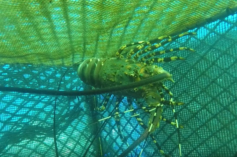 KKP melepasliarkan 260 lobster hasil budidaya di NTB