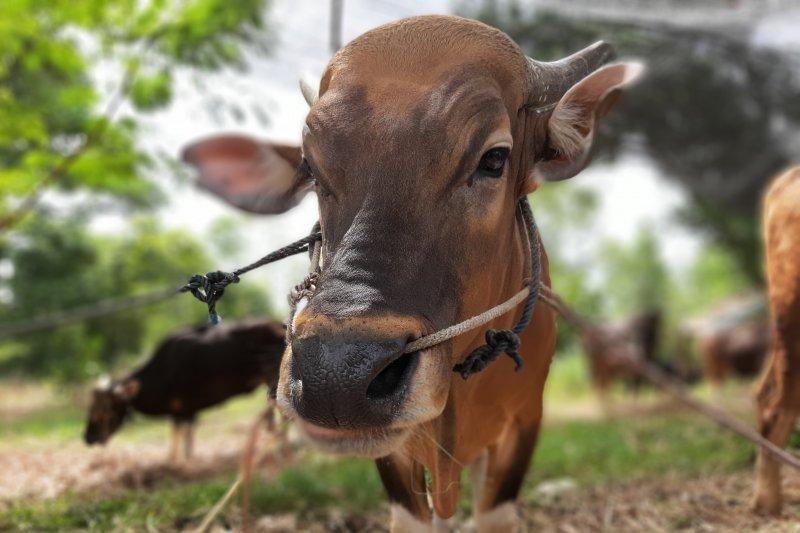 15 ekor hewan kurban di Kabupaten Bintan terserang penyakit