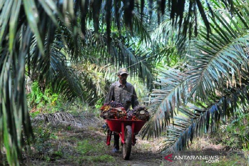 Harga minyak sawit di Jambi naik Rp333 per kilogram