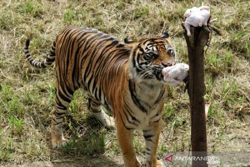 Polandia undang warganet namai bayi harimau Sumatra yang baru lahir