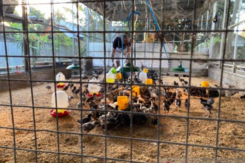 Investor bantu mewujudkan NTB swasembada telur ayam