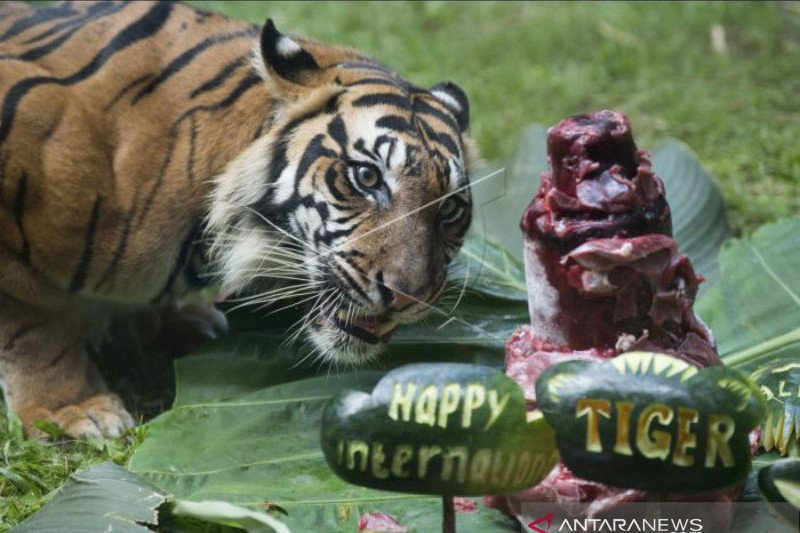 "Pengelola Kebun Binatang Bali Zoo rayakan ""International Tiger Day"""