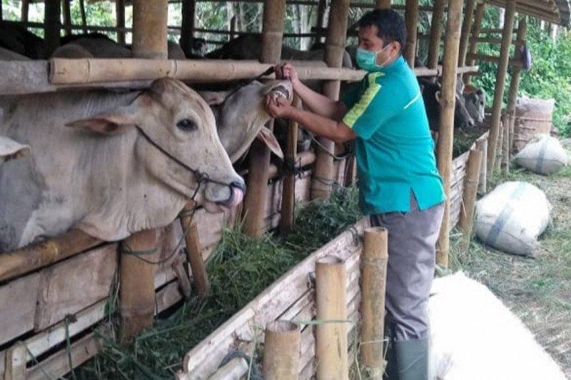 Sebelum disemblih 3.437 ekor hewan kurban telah diperiksa kesehatannya oleh Dinas Pertanian Agam