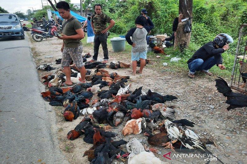 Di Kendari, penjual ayam kampung jadi rebutan jelang Idul Adha