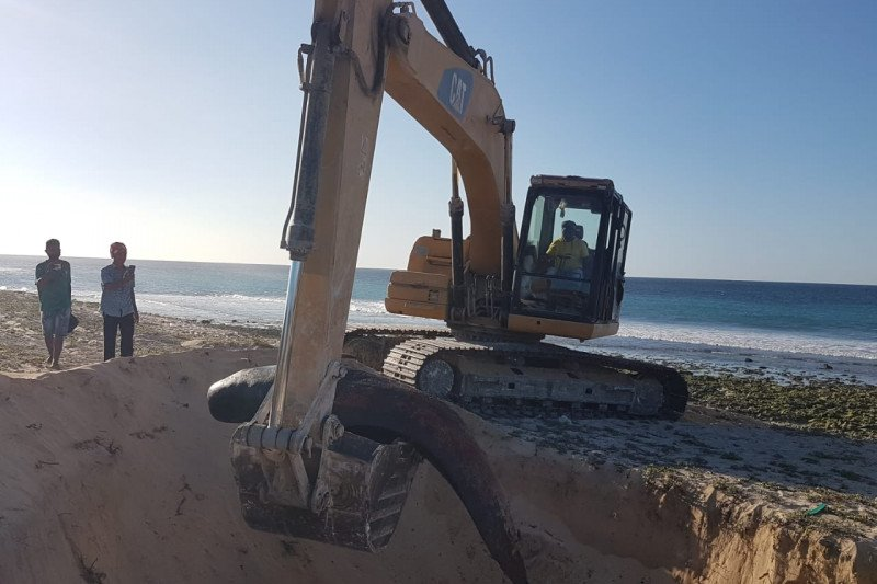 11 ikan paus pilot terdampar di perairan Sabu Raijua NTT