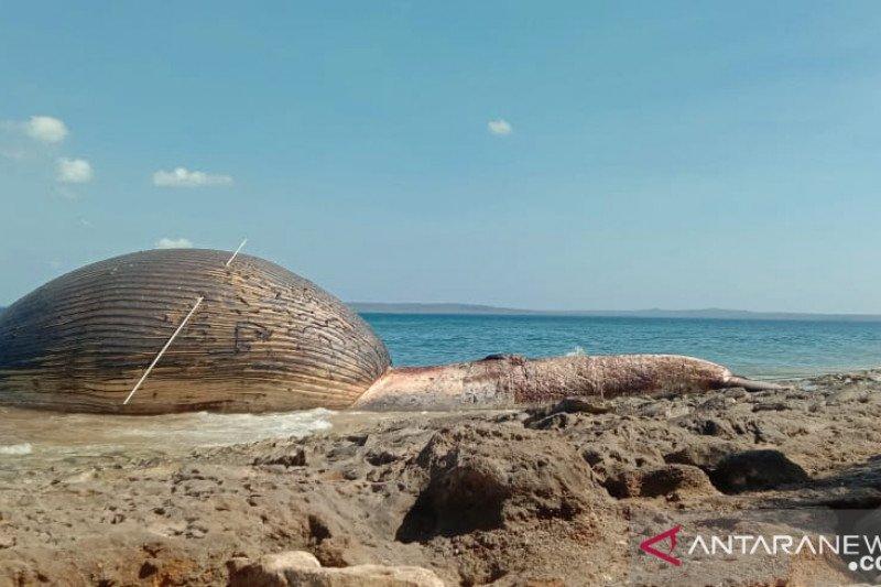 12 ekor paus terdampar di perairan NTT selama Juli 2020