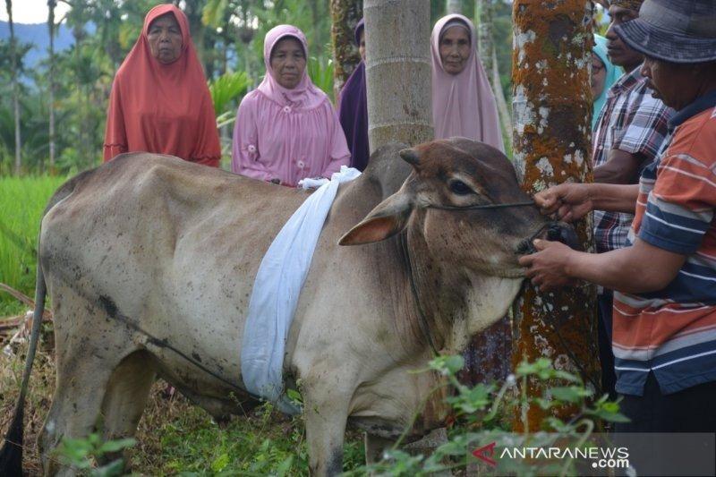 Warga Agam, Sumatera Barat dandani hewan kurban sebelum disembelih