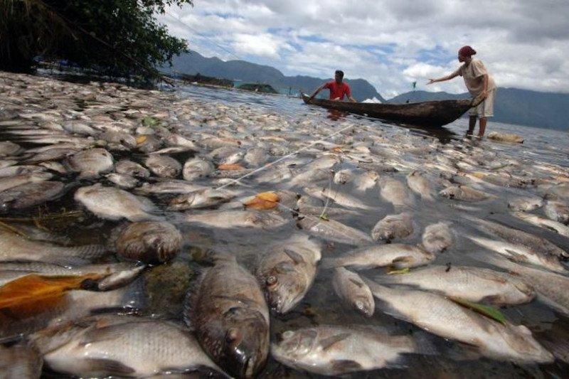 Lima ton ikan mati mendadak di Danau Maninjau , ini penyebabnya