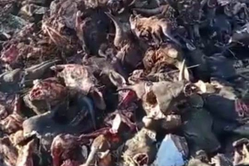 Polisi tahan dua pelaku pembuangan bangkai ratusan kepala sapi