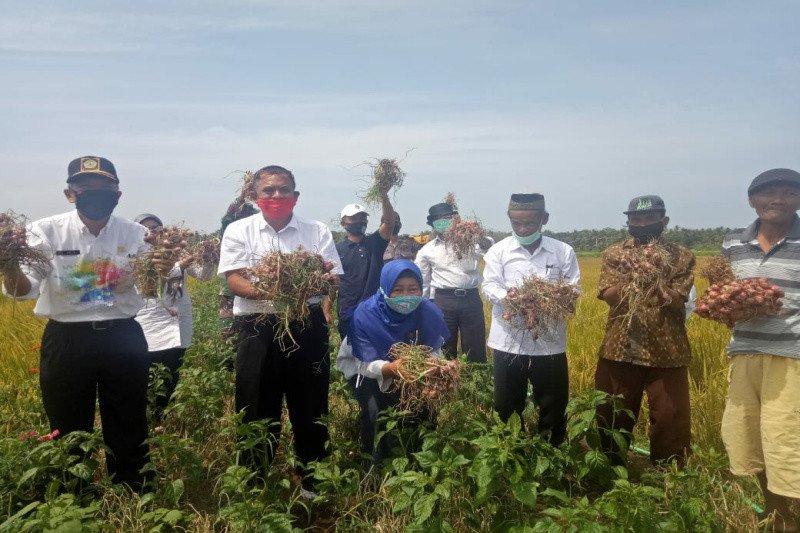 Petani di Kulon Progo panen bawang merah di lahan surjan