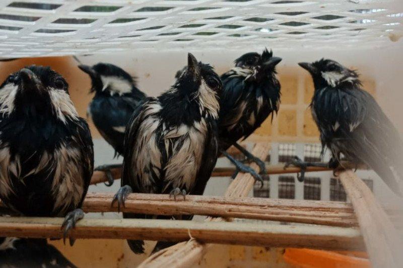 Penyelundupan burung dari Lampung ke Jakarta kembali digagalkan