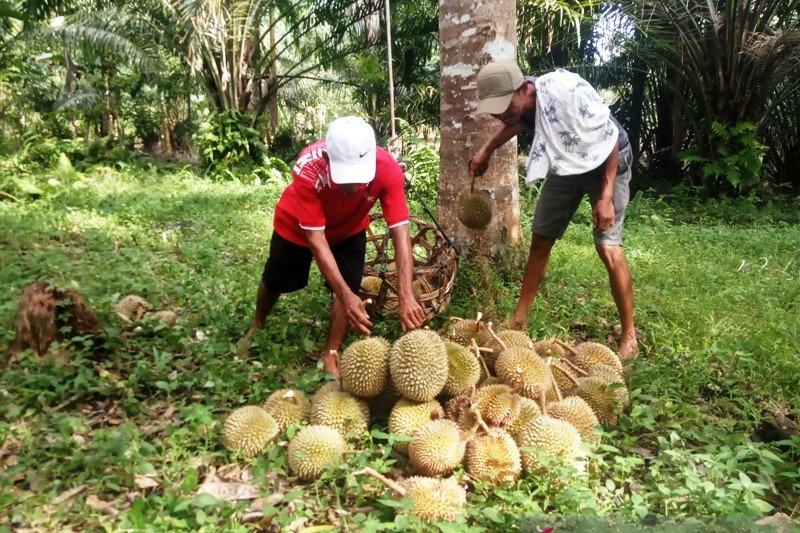 3.000 durian Lubukbasung Agam dipasarkan ke Riau-Jakarta setiap hari