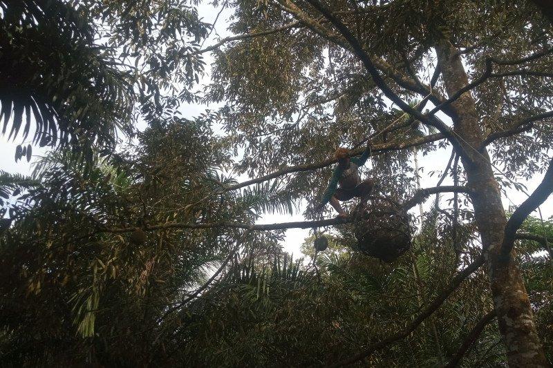 Musim durian, petugas pemetik durian dapat upah Rp1,2 juta per hari