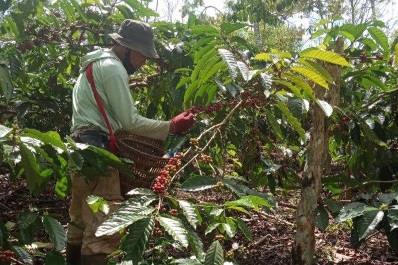 Petani kopi di Lampung Barat tetap lakukan panen ditengah pandemi COVID-19