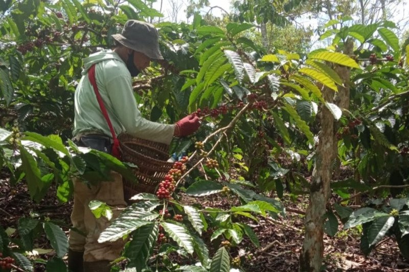 Saat pandemi COVID-19, produksi kopi di Lampung justru naik