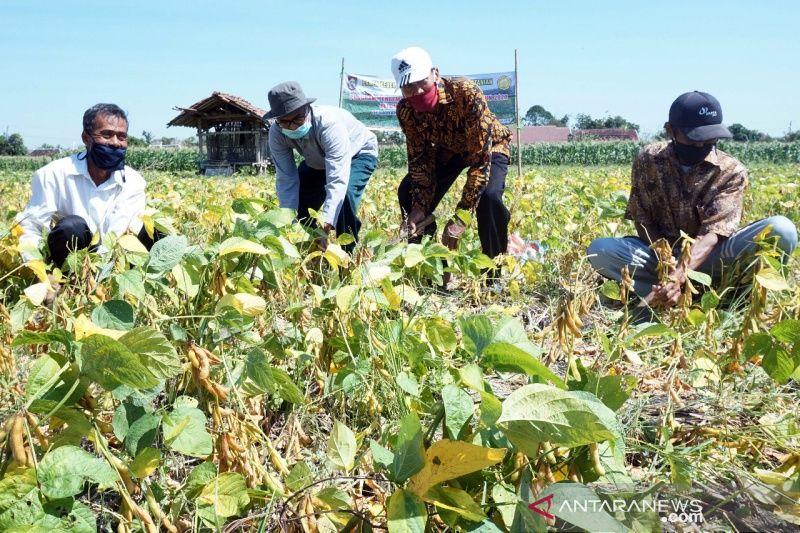 Di Boyolali, tanaman kedelai dikembangkan di 11 kecamatan