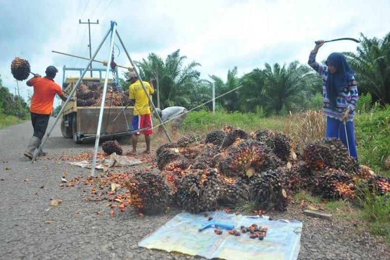 Produksi kelapa sawit Sumsel  turun 50 persen