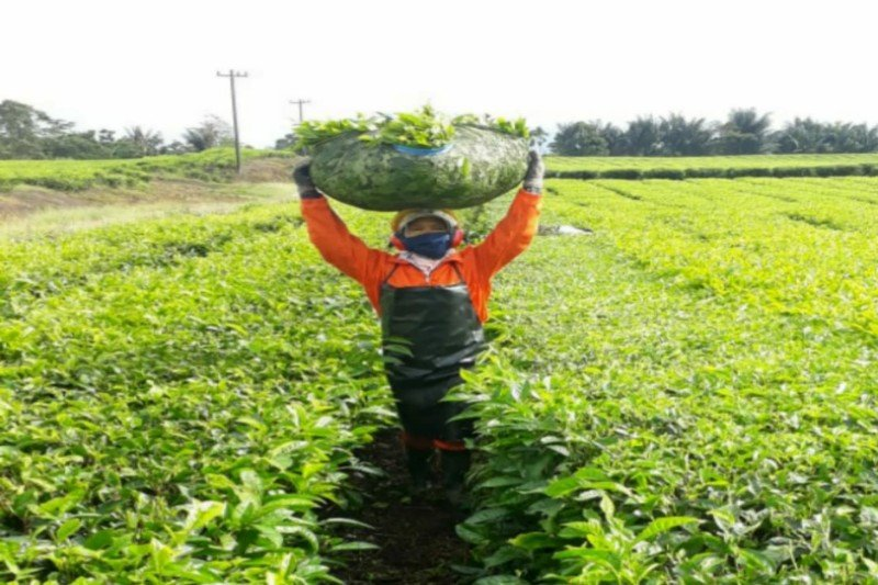 Plantation company PTPN IV logs net profits of Rp547.90 billion