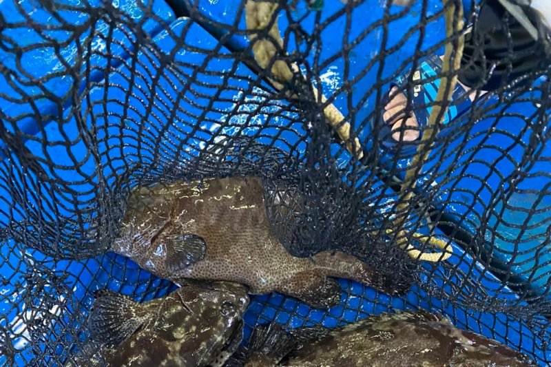 Ikan kerapu punya nilai ekonomi luar biasa