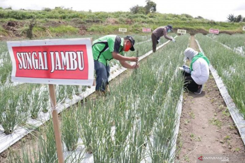 Bawang merah lokal Sungai Jambu Tanah Datar uji adaptasi jadi varietes unggul nasional
