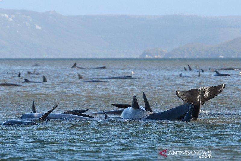 Australia melakukan upaya penyelamatan ratusan paus terdampar