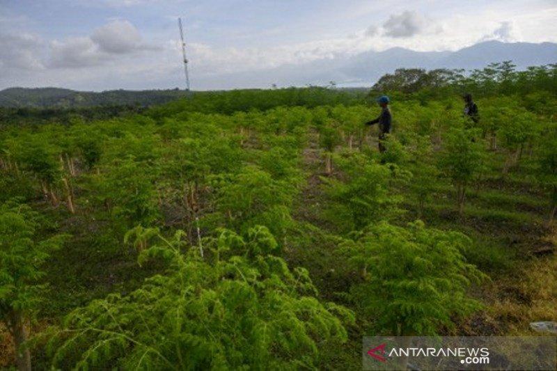 Perusahaan di Palu, budidayakan Kelor untuk pasar ekspor