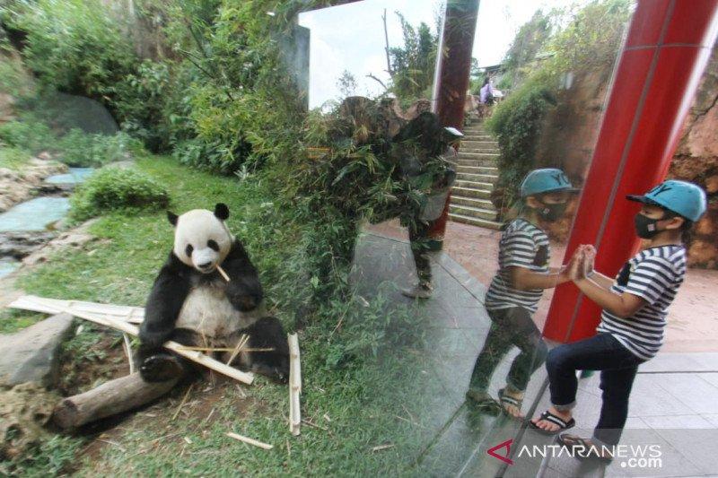 Taman Safari Bogor peringati tiga tahun kedatangan panda