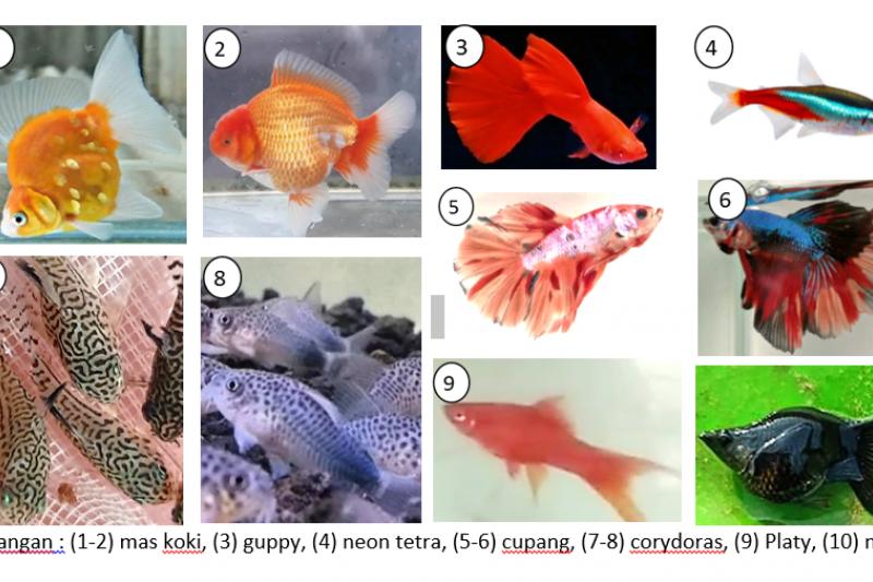 Dosen IPB beri tips pelihara ikan hias untuk pemula, apa saja?