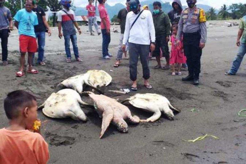 Polisi sebut warga di Mamuju bantai penyu karena makan rumput laut