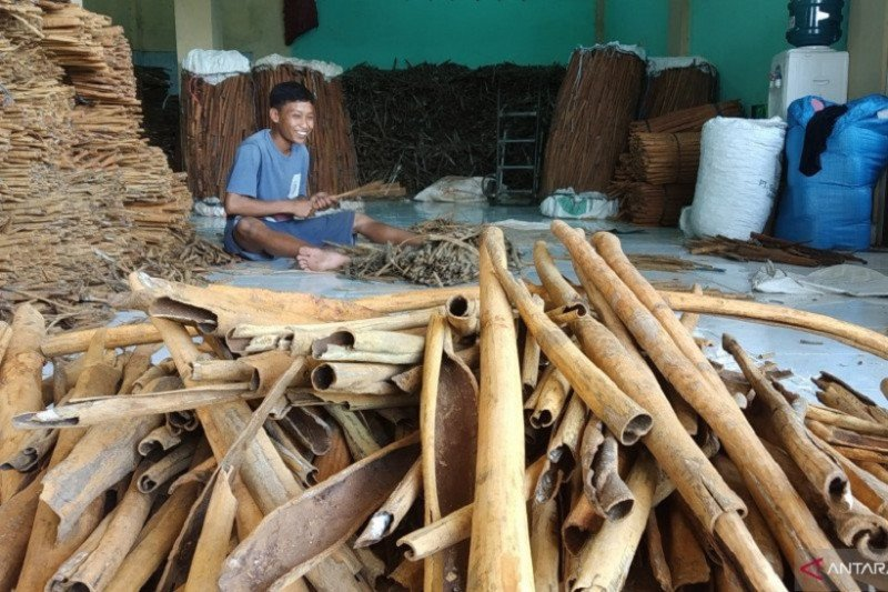 Theft of cinnamon in Tanah Datar often occurred