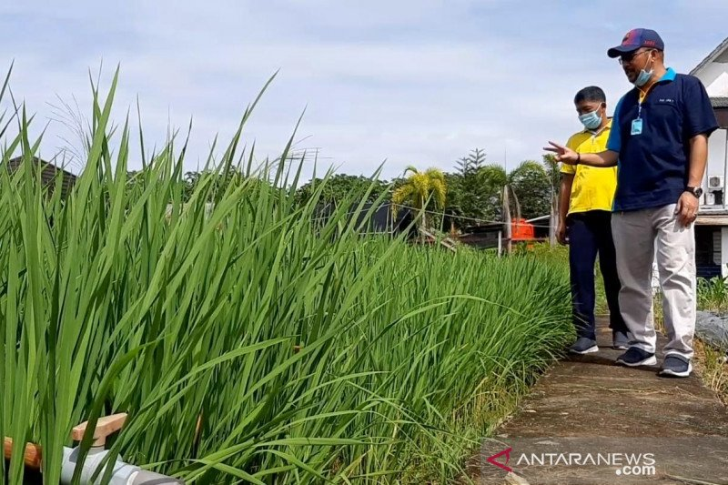 Distan Kalbar Kembangkan Padi Nutri Zinc Cegah Stunting Seluas 960 Hektare Antara News Kalimantan Barat