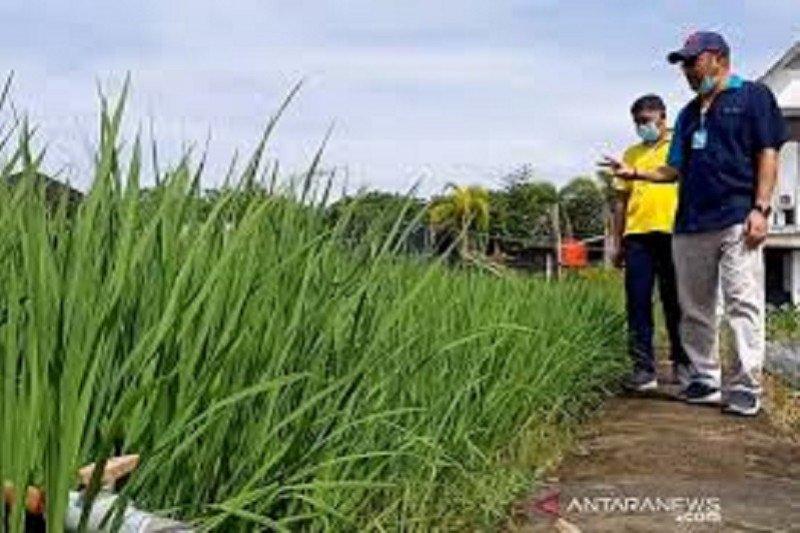 Kalbar kembangkan 960 hektare padi jenis Inpari Nutri Zinc, cegah stunting