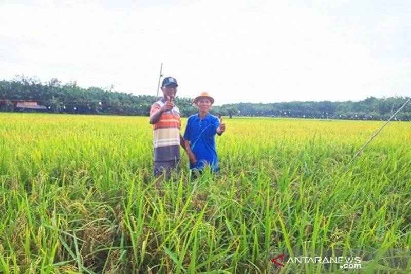 Kotabaru accelerates rice planting by 1,000 hectares