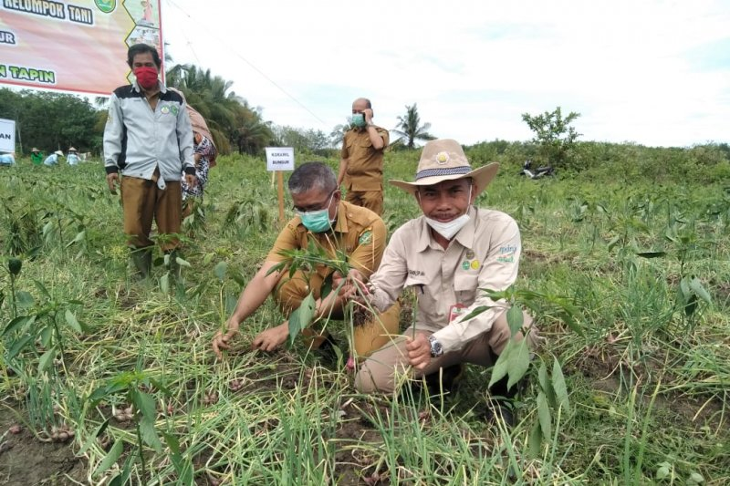 Tapin harvests shallots up to 9.2 tons per hectare