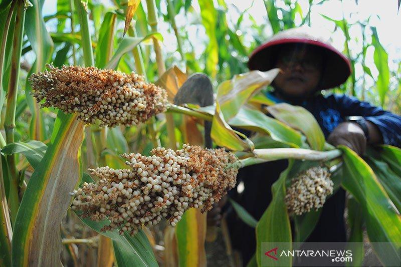 Pemerintah dorong peningkatan sektor pangan-pertanian mendukung PEN