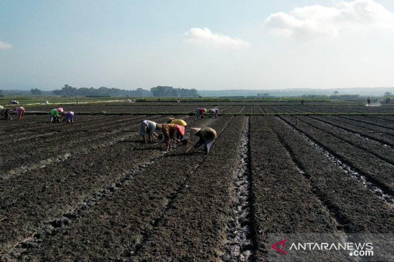 Kulon Progo kembangkan delapan kawasan agri bisnis