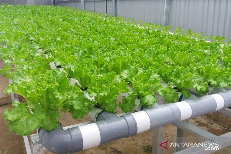 """Demam"" tanaman organik hidroponik"