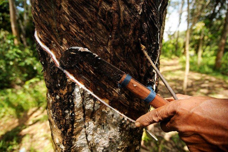 Harga getah karet di OKU tembus Rp10.000/Kg membuat petani kembali bergairah