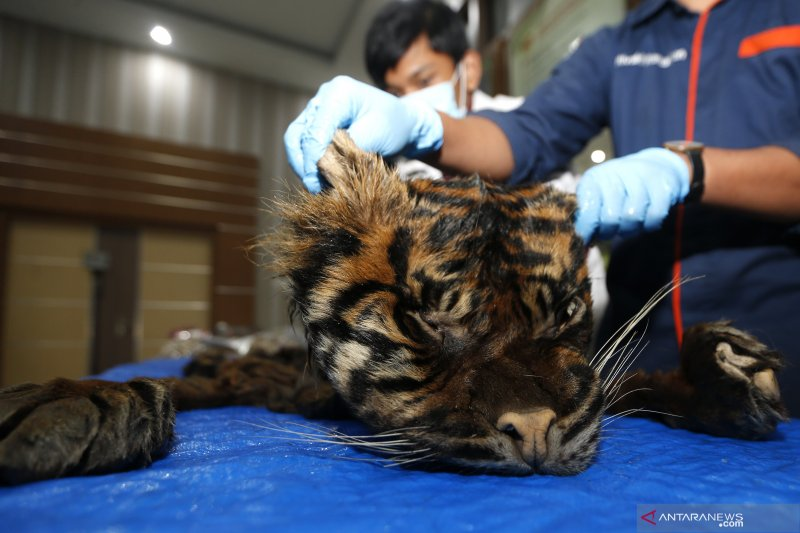 Kejari serahkan barang bukti kulit harimau dan tulang ke BKSDA