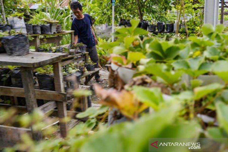 Percontohan budidaya tanaman stroberi di Sigi
