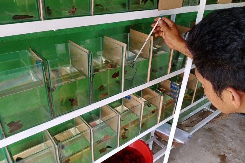 Demam ikan cupang di Mesuji