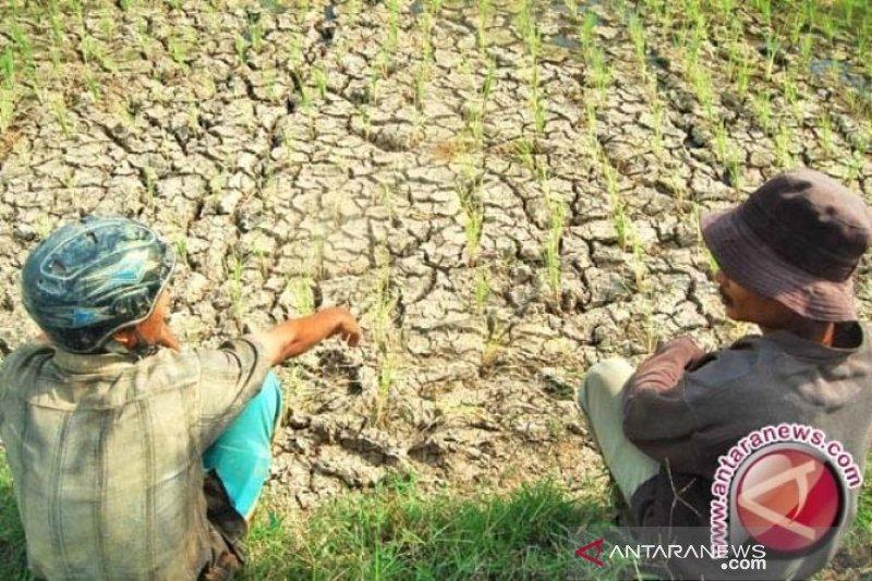 Kemarau, petani keluhkan saluran irigasi tidak kunjung diperbaiki