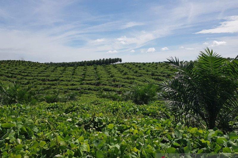 3,3 juta hektare kebun kelapa sawit berada dalam kawasan hutan
