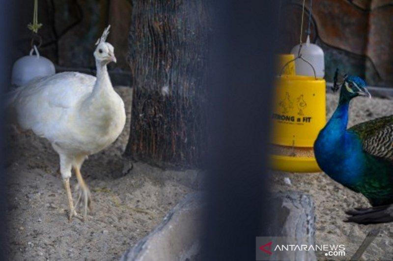 Penangkaran burung merak di Palu