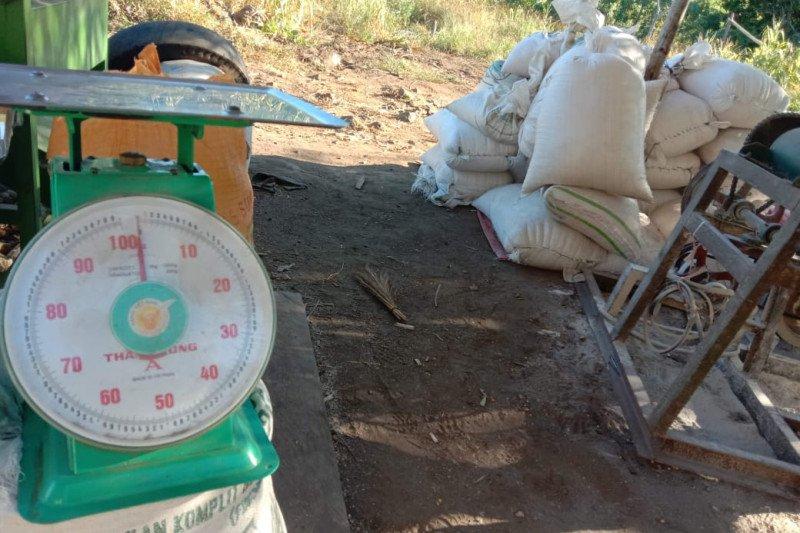 Petani Flores Timur produksi jagung penuhi kebutuhan penerima PKH